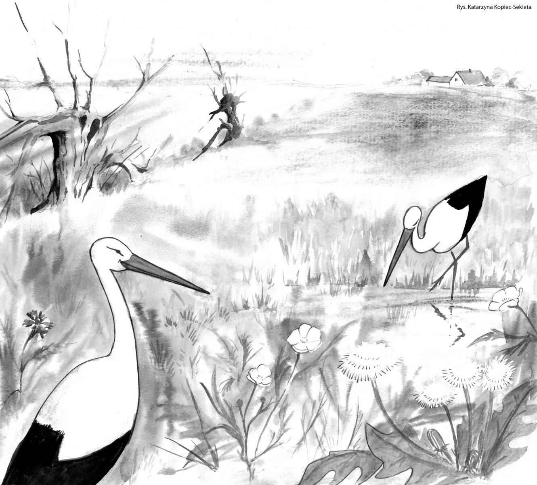 Żerowisko bocianów